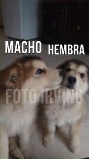 Cachorros Alaska Malamute - 3 Meses - Hermosos