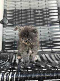 Lindo Filhote Gato Persa Puro Blue (cinza) Fêmea