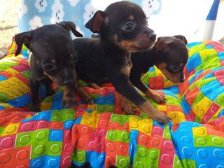 Cachorros Pincher