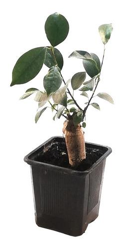 Imagen 1 de 5 de Ficus Microcarpa