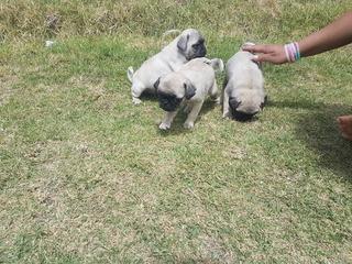 Cachorros Pug Carlino Mini Envios A Nivel Nacional