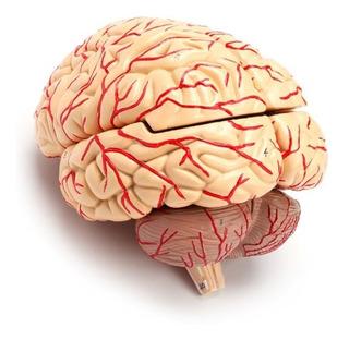 Modelo Anatomico De Cerebro Con Arterias 8 Partes