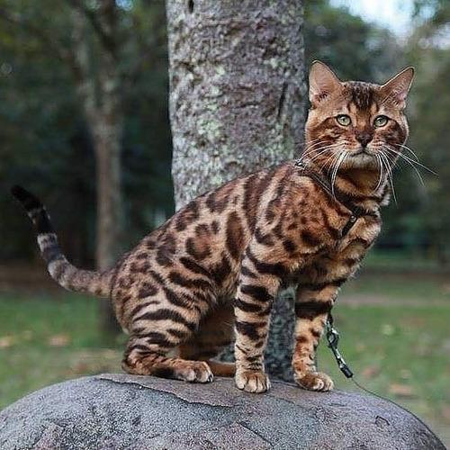 Gato Bengal Filhote Do Apollo