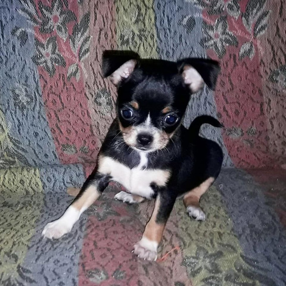 Excelente Chihuahua Mini Hembra