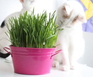 Semillas 100 Hierba Para Gatos Purga Para Mascotas