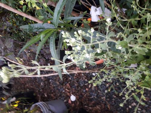 Plantas De Stevia En Mac. No. 12