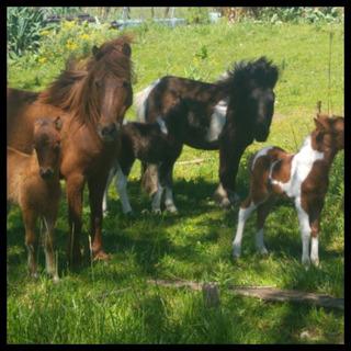 Venta De Petizas Ponys