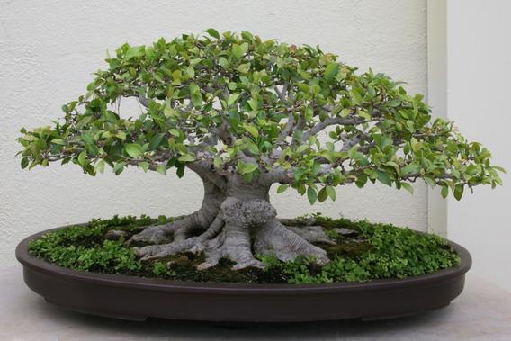 Bonsai Ficus Obliquia Para Decoração 10 Sementes