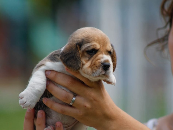 Cachorras Beagles De Lujo