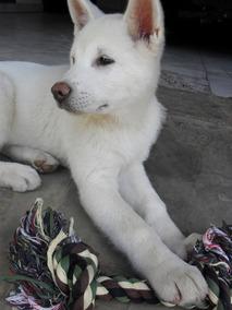 Akita Inu Japonês Branco Cão Companhia E Guarda O Mais Fiel