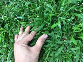 Sementes De Grama São Carlos Folha Larga 1,5 Kg Frete Grátis