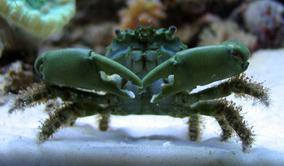 Cangrejo Esmeralda Acuario Marino Peces Depredador De Alga