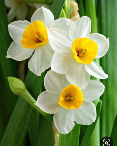 Junquillo (narcissus Tazetta)