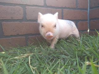 Minipig Cerditos Pareja De Mini Pig Rosa/lunares