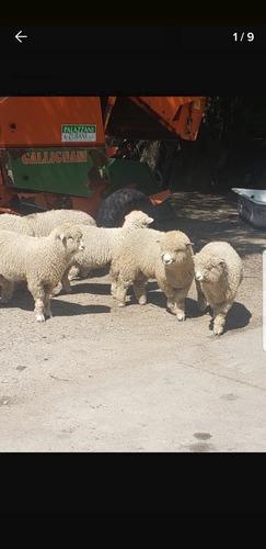 Imagen 1 de 1 de Corderos En Pie Vendo Consulte