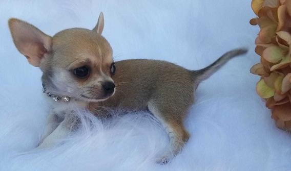 Chihuahua Femea Pelo Curto