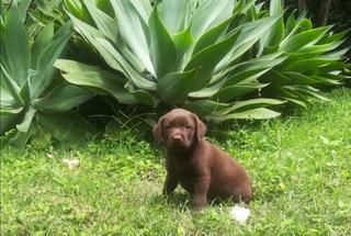 Labradores Chocolates Cachorros