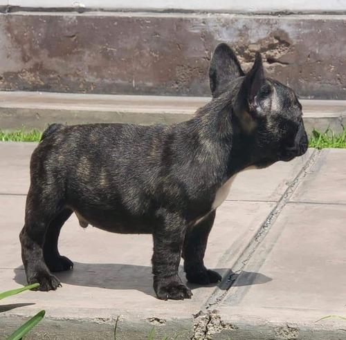 Imagen 1 de 1 de Bulldog Frances Cachorros Full Pedigre