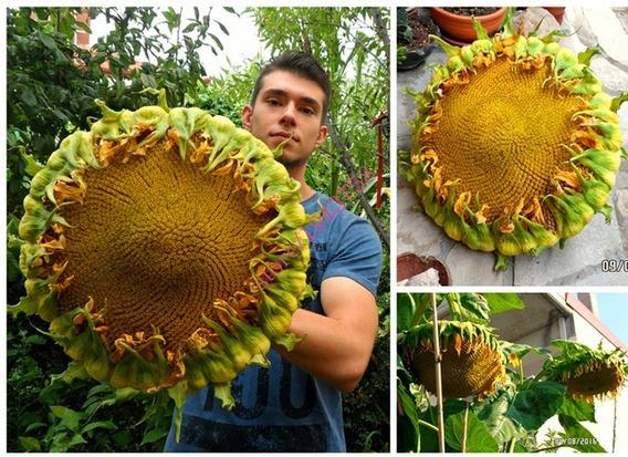 Girassol Gigante 100 Sementes Frete Grátis ***r2