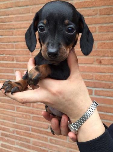 Cachorros Salchicha Miniatura Dachshund