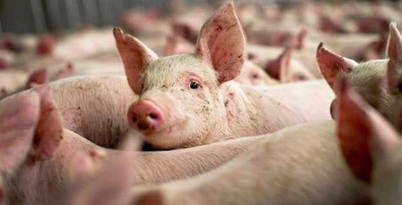 Apostila Aprenda A Criar Porcos Suínos