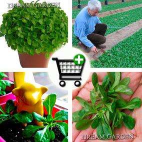 Mini Alface Valerianella -- Baby Leaf Sementes Para Mudas