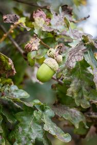 Kit-sementes Carvalho Europeu Quercus Robur L 150 Unidades