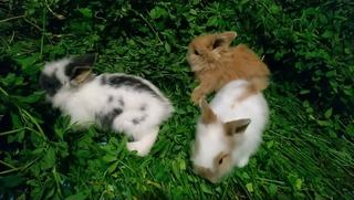 Hermosos Conejos Cabeza De León Y Belier Minilop