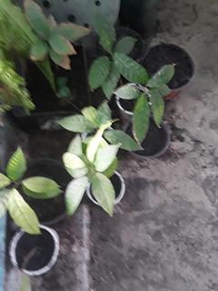 Arbolitos De Cacao