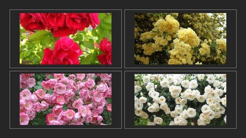 Imagen 1 de 1 de Paquete 4 Rosales Enredadera 1 De Cada Color Ro,am,rosy Blan