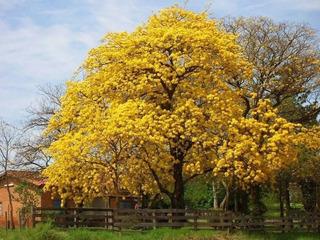 Árbolitos De Guayacán Amarillo Primavera Exóticos