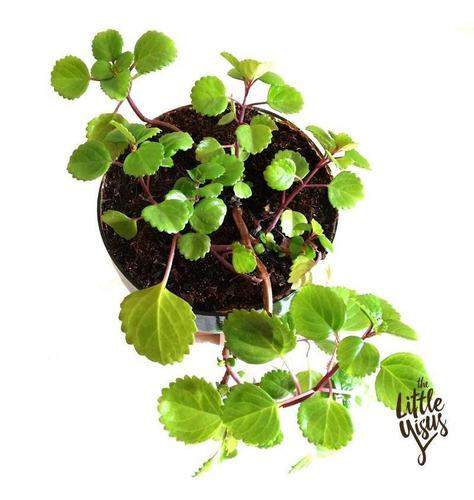 Dolar Little Plant 32 Con Soporte, Maceta Autorregante