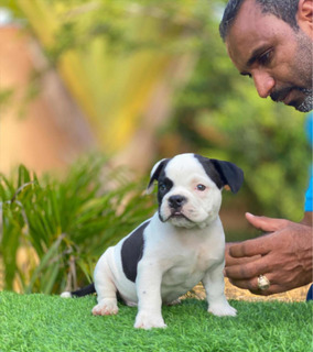 American Bully Con Pedigree