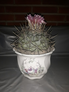 Cactus Biznaga En Maceta Decorativa
