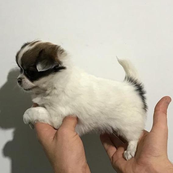 Excelente Hembrita Chihuahua Mini