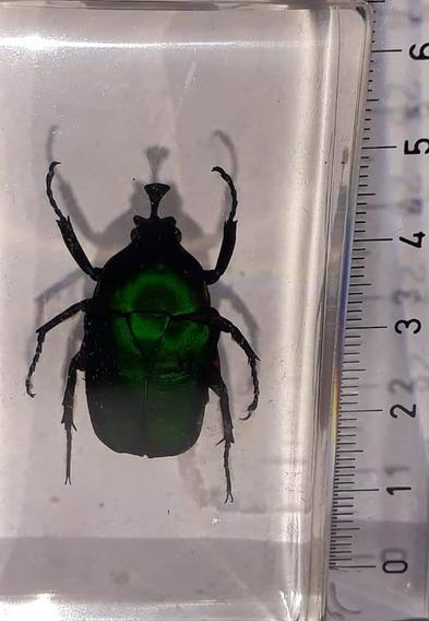 Escarabajo Joya Verde Kenia Bichos La Nacion