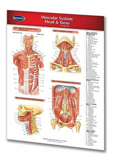 Permacharts - Muscular System Head Torso Chart Single Panel