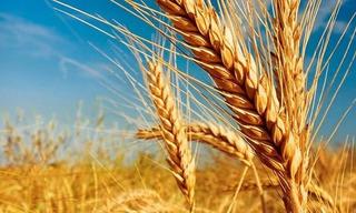 1 Kg De Semillas De Trigo Para Cultivar