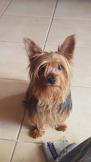 Busco Novia French Poodle en Mercado Libre México