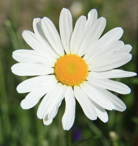 200 Semillas Flor Margarita Crisantemo + Obsequi Germinación
