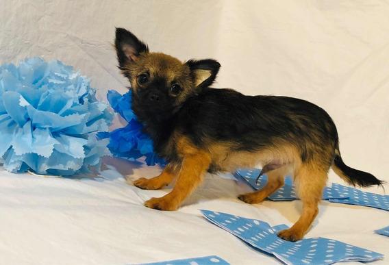 Chihuahua Macho Pelo Largo Muy Mini