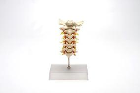 Coluna Vertebral Cervical - Modelo Anatômico - Lojalab