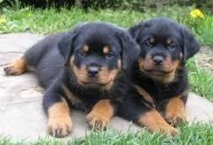Cachorras Rottweiler La Mejor Reputacion Calidad Premium