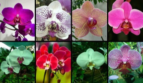 150 Sementes D Flor Orquidea Mix (raras Exóticas )