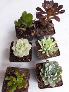 Suculentas Plantas En Matero Plastico 7cms