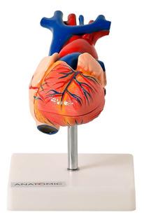 Coração Tamanho Natural Com 2 Partes - Modelo Anatômico