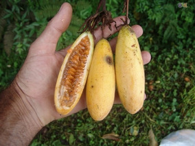 10 Sementes Maracuja Banana Passiflora Molissim Frete Grátis