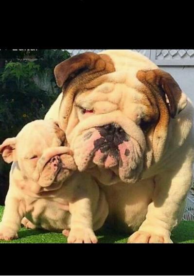 Bulldog Inglés..disponible