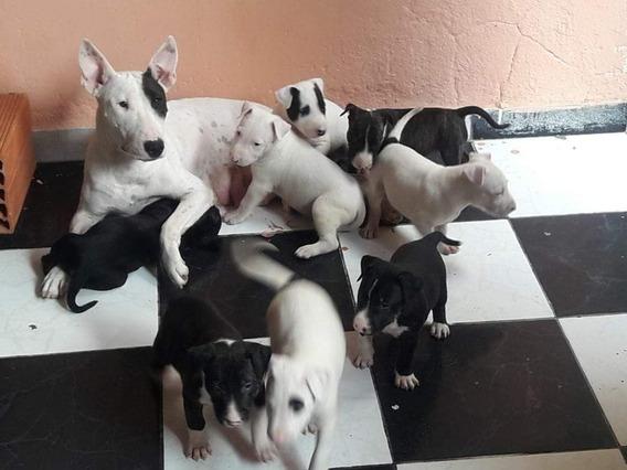 Bull Terrier Excelentes Filhotes