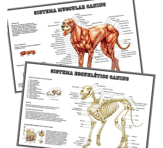 2 Posters 65x100cm Musculos + Esqueleto Cães P/ Veterinária
